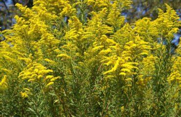 közönséges aranyvessző (Solidago virgaurea)